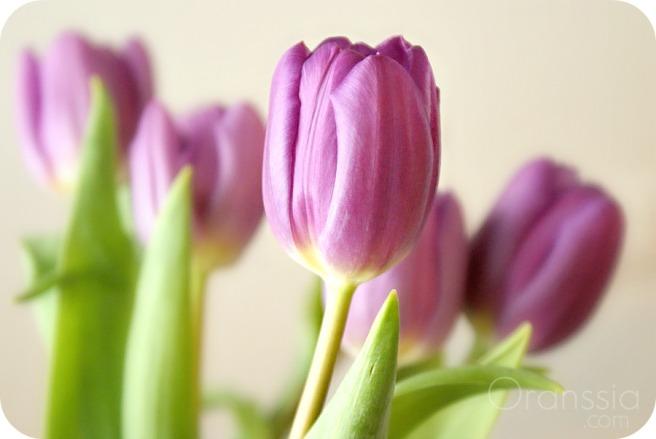 violetit tulppaanit